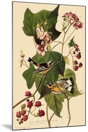 Magnolia Warblers-John James Audubon-Mounted Giclee Print