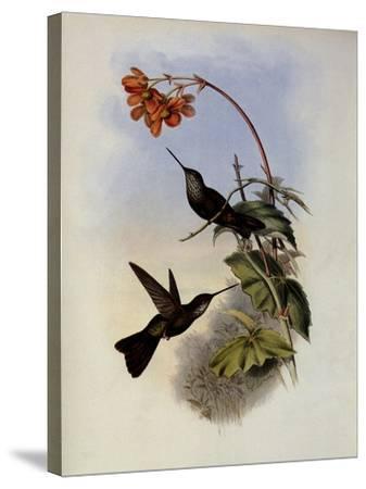 C�ligene, C�ligena Typica-John Gould-Stretched Canvas Print