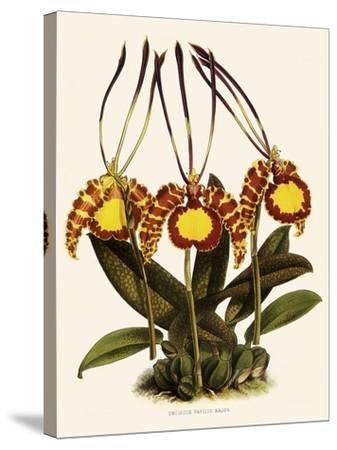 Oncidium Papilio-John Nugent Fitch-Stretched Canvas Print