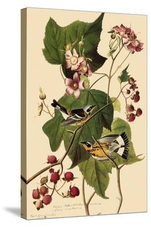 Magnolia Warblers-John James Audubon-Stretched Canvas Print