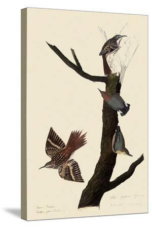 Creepers and Nuthatches-John James Audubon-Stretched Canvas Print