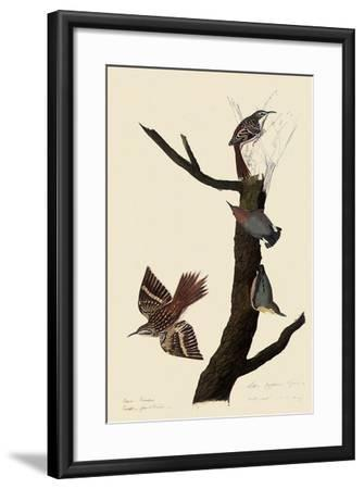 Creepers and Nuthatches-John James Audubon-Framed Giclee Print