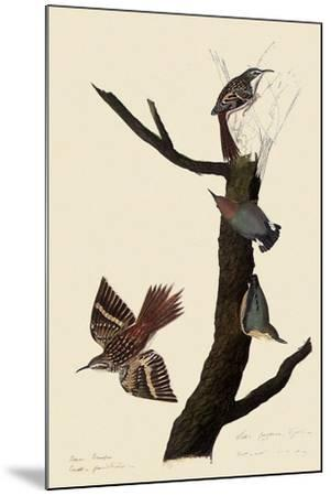 Creepers and Nuthatches-John James Audubon-Mounted Giclee Print