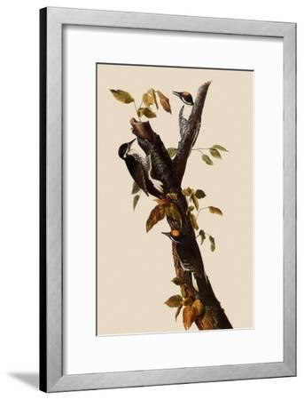 Woodpeckers-John James Audubon-Framed Giclee Print
