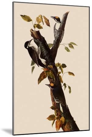 Woodpeckers-John James Audubon-Mounted Giclee Print