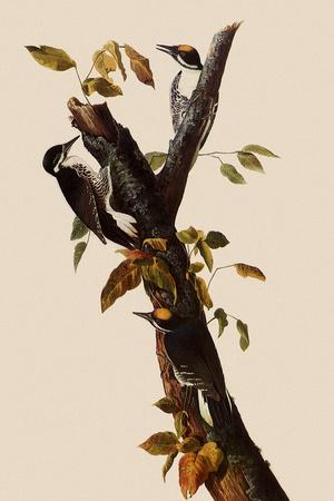 Woodpeckers-John James Audubon-Stretched Canvas Print