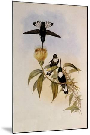Green-Throated Inca, Bourcieria Fulgidigula-John Gould-Mounted Giclee Print