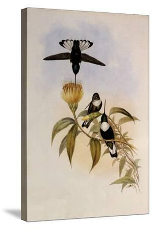 Green-Throated Inca, Bourcieria Fulgidigula-John Gould-Stretched Canvas Print