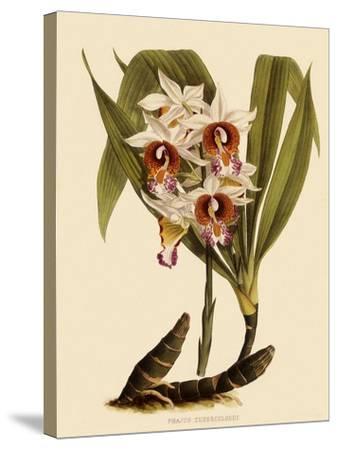 Phaius Tuberculosus-John Nugent Fitch-Stretched Canvas Print
