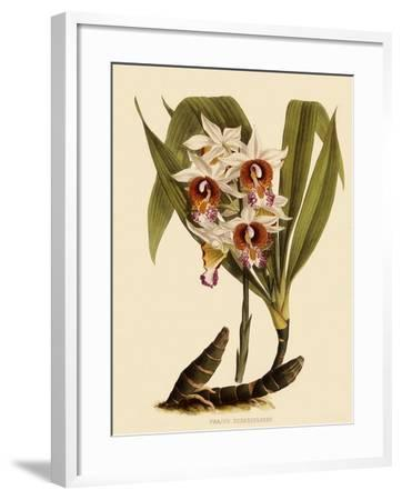 Phaius Tuberculosus-John Nugent Fitch-Framed Giclee Print