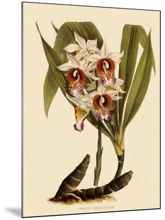 Phaius Tuberculosus-John Nugent Fitch-Mounted Giclee Print