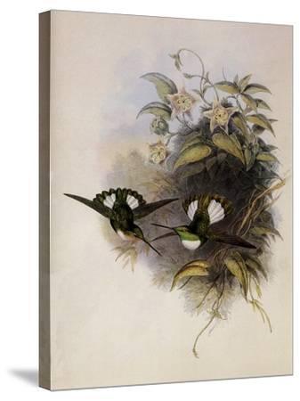 Conrad's Inca, Bourcieria Conradi-John Gould-Stretched Canvas Print