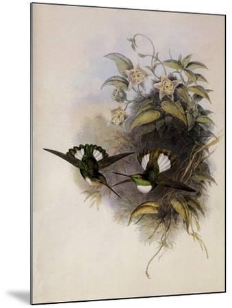 Conrad's Inca, Bourcieria Conradi-John Gould-Mounted Giclee Print