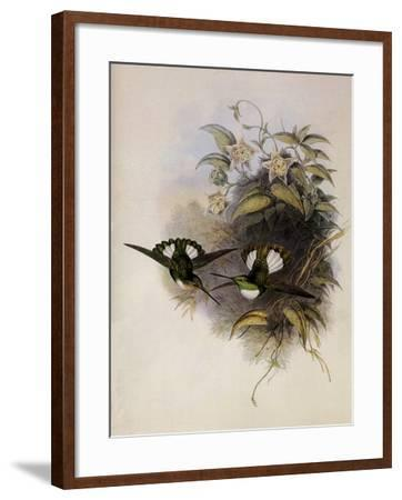 Conrad's Inca, Bourcieria Conradi-John Gould-Framed Giclee Print