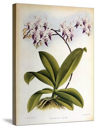 Phalaenopsis Rosea-John Nugent Fitch-Stretched Canvas Print