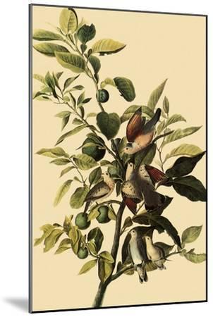 Ground Doves-John James Audubon-Mounted Giclee Print