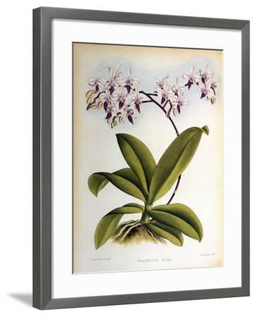 Phalaenopsis Rosea-John Nugent Fitch-Framed Giclee Print