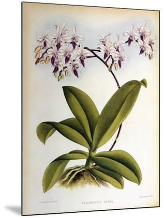 Phalaenopsis Rosea-John Nugent Fitch-Mounted Giclee Print