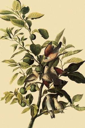 Ground Doves-John James Audubon-Stretched Canvas Print