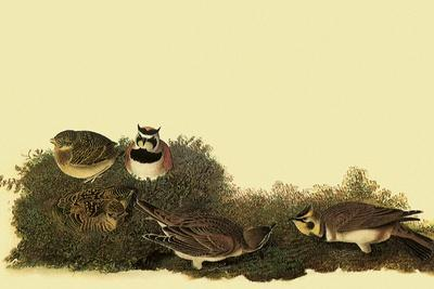 Horned Larks-John James Audubon-Framed Giclee Print