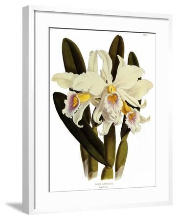 Laelia Schroederi-John Nugent Fitch-Framed Giclee Print