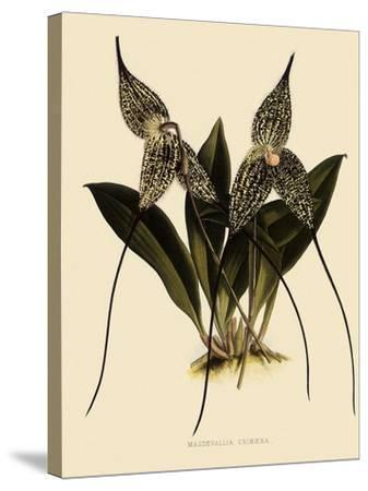Masdevallia Chimaera-John Nugent Fitch-Stretched Canvas Print