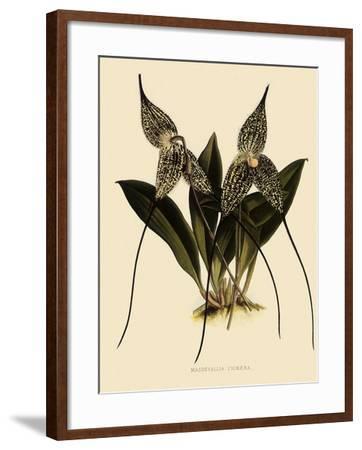 Masdevallia Chimaera-John Nugent Fitch-Framed Giclee Print