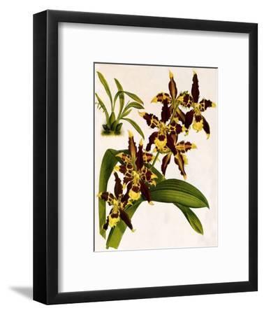 Odontoglossum Luteopurpureum Var Magnificum-John Nugent Fitch-Framed Giclee Print