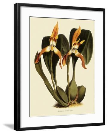 Maxillaria Luteoalba-John Nugent Fitch-Framed Giclee Print