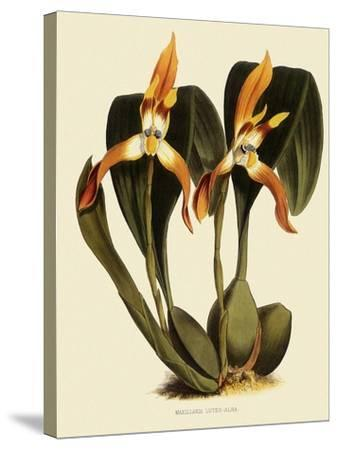 Maxillaria Luteoalba-John Nugent Fitch-Stretched Canvas Print