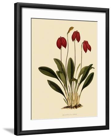 Masdevallia Ignea-John Nugent Fitch-Framed Giclee Print