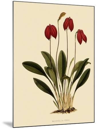 Masdevallia Ignea-John Nugent Fitch-Mounted Giclee Print
