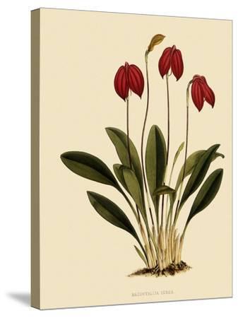 Masdevallia Ignea-John Nugent Fitch-Stretched Canvas Print