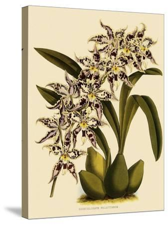 Odontoglossum X Polletianum-John Nugent Fitch-Stretched Canvas Print