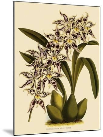 Odontoglossum X Polletianum-John Nugent Fitch-Mounted Giclee Print