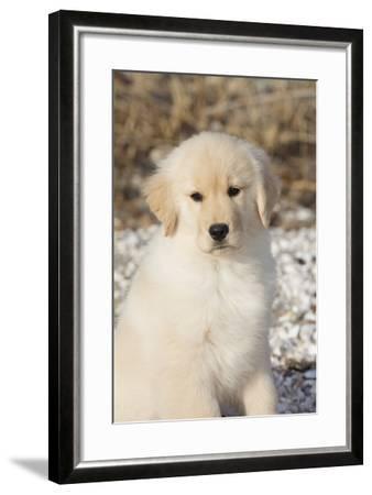 Golden Retriever Pup--Framed Photographic Print