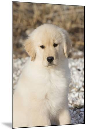Golden Retriever Pup--Mounted Photographic Print