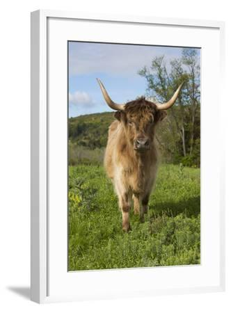Highland Cattle--Framed Photographic Print
