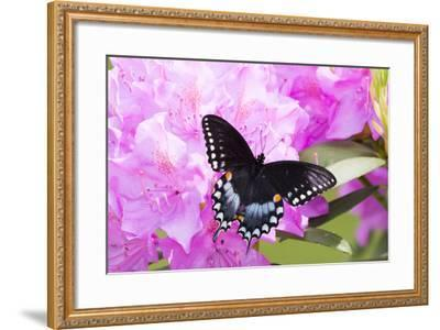 Spicebush Swallowtail Butterfly--Framed Photographic Print