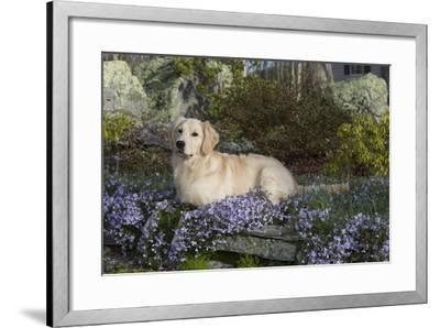 Golden Retriever--Framed Photographic Print