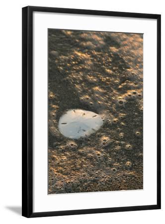 Sand Dollar--Framed Photographic Print