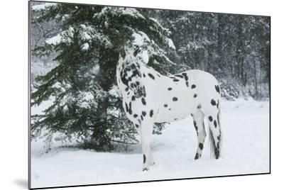 Apaloosa Horse--Mounted Photographic Print