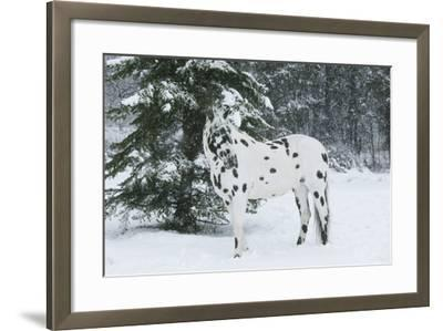 Apaloosa Horse--Framed Photographic Print