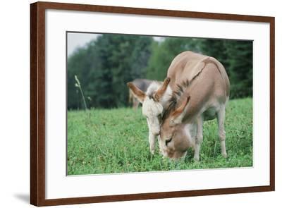 Donkey--Framed Photographic Print