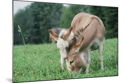 Donkey--Mounted Photographic Print