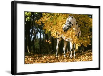Apaloosa Horse--Framed Photographic Print