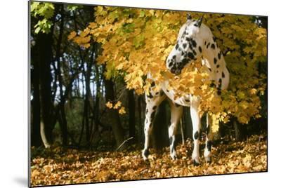 Apaloosa Horse--Mounted Photographic Print
