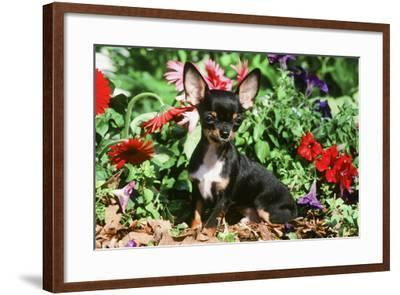 Chihuahua--Framed Photographic Print