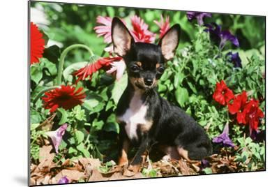 Chihuahua--Mounted Photographic Print