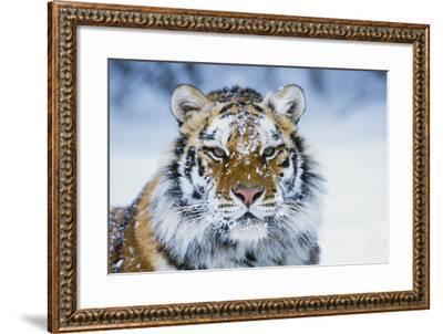 Tiger--Framed Photographic Print